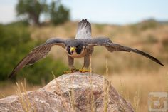 Preflight Check Complete - A male Peregrine Falcon prepares for flight as he spots potential prey on a mild summer morning at Bear Creek Lake Park - Morrison, CO