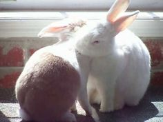 Bunnies groom each other in the sunlight - September 25, 2016 - From today's Daily Bunny post: http://dailybunny.org/2016/09/25/video-bunnies-groom-each-other-in-the-sunlight/