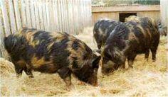 Arapawa pigs - are rare breed from New Zealand