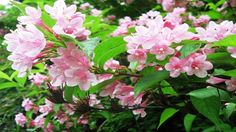 Top 10 Colorful Weigela Flower Ever You Seen | Amazing Flowers Video(HD)