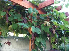 grape vine on pergoda