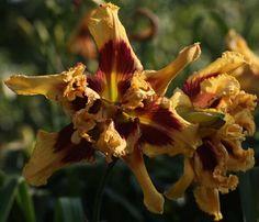 Cinnamon Faces  (Sattelmeier 2014) Seedling 25-555F: Fringed Sangria (Petit, 2008) x Tusk (Trimmer-J., 2008) Height 32in (81cm), bloom 7+in ...