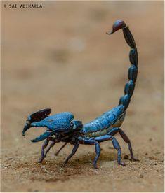 """wunderlug: """"wunderlug Blue scorpion by Sai Adikarla """""""