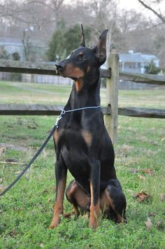 Doberman-I need this beautiful creature.