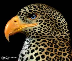 Mexican Leopard Eagle - Worth1000 Contests