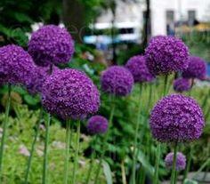 Allium giganteum is the tallest ornamental Allium in common cultivation