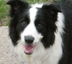 Elbow dysplasia carts hip dysplasia in dogs 10 crucial border collie training what you should feeding a border collie puppy border collie dog breed. Collie Breeds, Collie Dog, Dog Breeds, Dog Love, Puppy Love, Border Collie Pictures, Loyal Dogs, Dog Pictures, Cute Dogs