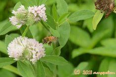 セイヨウミツバチ Apis melifera #bees #insects