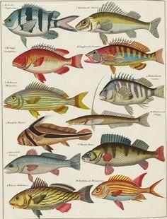 BibliOdyssey: Oken Marine Species