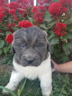 Lancaster Puppies pairs Newfoundland dog breeders with great people like you! Find your Newfoundland dog for sale here! Newfoundland Puppies, Big Dog Breeds, Lancaster Puppies, Gentle Giant, Pet Health, Big Dogs, Puppies For Sale, Mans Best Friend, Puppy Love