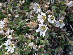Napahärkki, Cerastium nigrescens - Kukkakasvit - LuontoPortti