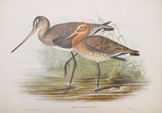 """John Gould (1804-1881) was one of the most respected and prolific ornithologists of all time. Such is his fame that he is often referred to as the """"Bird Man."""" As a taxidermist, traveler and accomplished artist he created life-like and detailed images of birds from all over the world."""