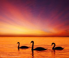 Swans at Bourgas coast