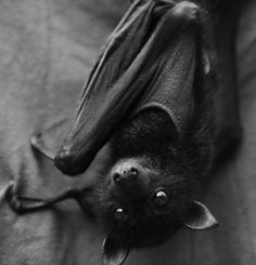 I like bats.  Bat are our friends. They eat mosquitos. Look at this cute little fellow...reminds me of my dog.