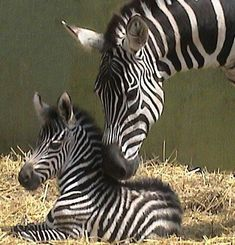 Momma Zebra and her newborn baby!