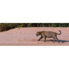 Jaguar (Panthera onca) walking in a forest at riverside Cuiaba River Pantanal Matogrossense National Park Pantanal Wetlands Brazil Canvas Art - Panoramic Images (6 x 18)