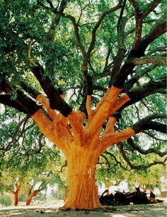 Apparently this is one of the oldest cork trees in the world - planted in 1783 and producing cork since 1820. Location: Águas de Moura, Marateca, Portugal .https://www.facebook.com/regressarasorigens/photos/a.478665948847310.1073741826.478659782181260/632442033469700/?type=1
