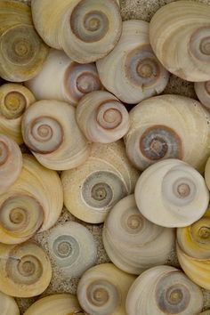 """beach: New Zealand spiral shells. Called these """"cats eyes"""" due to how they look when turned up other way. They are attached to the sea snails and when hiding in the shell are used to cover the hole. Patterns In Nature, Textures Patterns, Flora Und Fauna, Golden Ratio, Foto Art, Ocean Life, Sea Creatures, Sacred Geometry, Sea Glass"""