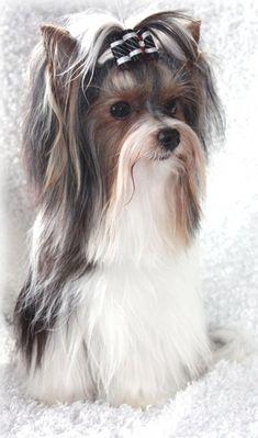 Biewer Yorkie, Teacup Yorkie, Yorkie Puppy, Yorkies, Pomeranians, Yorky Terrier, Yorshire Terrier, Cairn Terriers, Scottish Terriers