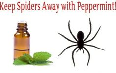 Step 1: Mix 6 – 8 drops of peppermint oil with half a quart of water into the spray bottle.  Step 2: Shake the mixture thoroughly then take a whiff to make sure the water smells minty, if not then add a couple more drops of peppermint oil.  Step 3: Spray the peppermint mix in the cracks and gaps where spiders can enter your home.
