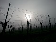 Sun coming up through the morning fog and sleeping vines