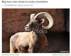 This bighorn ram photo by Georgia Evans is available at https://us.fotolia.com/id/92961241