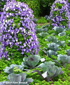 Chicago Botanic Garden's viola-and-parsley towers underplanted with cabbages