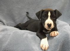 High kill shelter  save this baby Please Meet CARLEY a Petfinder adoptable Pit Bull Terrier Dog | Nashville, TN | Petfinder.com is the world�s largest database of adoptable pets and pet care information. Updated daily, search Petfinder for one of over 300,000 adoptable pets and thousands of pet-care articles!