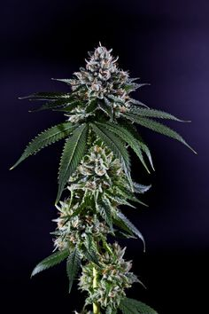 Ken's Kush is a highly potent and superb organic medical cannabis strain
