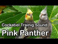 Cockatiel training sound Pink Panther Theme - YouTube
