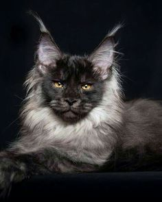 Black Smoke Maine Coon, beautiful!