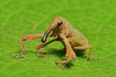Weevil - funny looking bug!