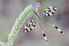 Nemoptera bipennis,  Is a spoonwing dragonflie.....