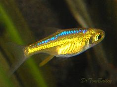 green neon rasbora  Google Image Result for http://www.aquariumfish.net/images_01/neon_green_rasbora_091031a_w0480.jpg