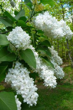 Syringa hyacinthiflora, White Lilac. Where white garden meets backyard.