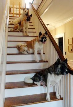 Stairs full of Akita's! I miss mine