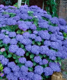 ~Penny Mac Hydrangea, sold by Cottage Farms Direct. Named after one of the founders of the American Hydrangea Society,