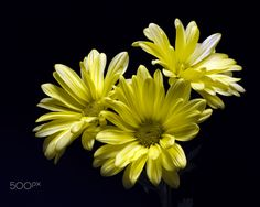 Yellow Daisy Trio 0519 от Thomas Jerger
