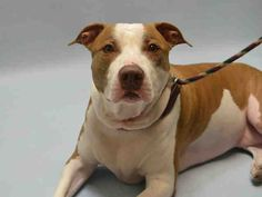 NILA - #A1081737 - Urgent Brooklyn - SPAYED FEMALE TAN/WHITE AM PIT BULL TER MIX, 3 Yrs - OWNER SUR - EVALUATE, NO HOLD Reason MOVE2PRIVA - Intake 07/18/16 DueOut 07/18/16