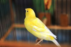 Canary Birds, Different Birds, Big Bird, Colorful Birds, Bird Feathers, Beautiful Birds, Pet Birds, Parrot, Cute Animals