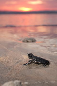 Baby turtles @ sunrise .... Something so precious about a turtle!