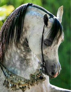 What an Astonishing Gray Dapple Arabian.
