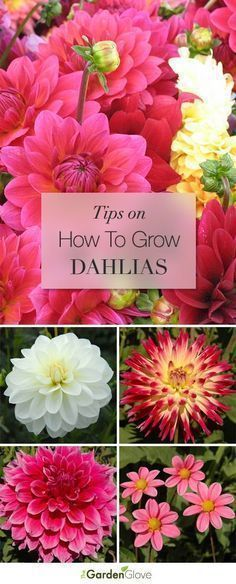 How to Grow Dahlias • Great Tips and Ideas!                                                                                                                                                                                 More