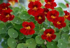 5 plante companion nelipsite din grădina mea Salvia, Diy Projects, Backyard, Flowers, Gardening, Gardens, Home, Agriculture, Plants