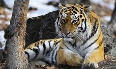 Siberian tigers have been spotted in China, 65 years after the species had been whipped out of the country