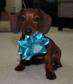Ella - dachshund puppy! cutest baby weiner dog