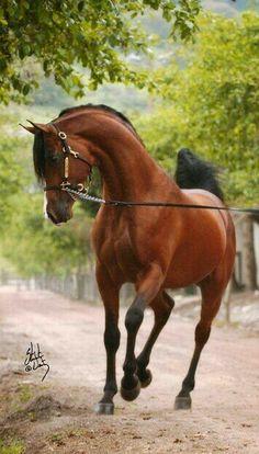 Bel Aire V; 2003 bay Arabian stallion (Baske Afire x Balquelotta V)