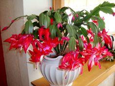 Cactus Planta, Cactus Y Suculentas, Cactus Flower, Flower Pots, Christmas Cactus Plant, Common House Plants, Rare Orchids, Mother Plant, Plant Cuttings