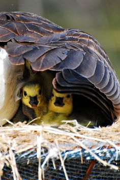 http://www.pinterest.com/marygearyart/birds-nests/ Canadian Goose goslings