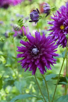 Dahlia 'Purple Gem' #dahlias #flowers Feed your plants with GrowBest from http://www.shop.embiotechsolutions.co.uk/GrowBest-EM-Seaweed-Fertilizer-Rock-Dust-Worm-Casts-3kg-GrowBest3Kg.htm